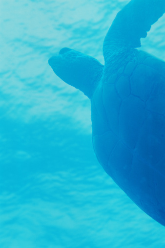 Green Turtle「Green Sea Turtle, Maui, Hawaii」:スマホ壁紙(17)