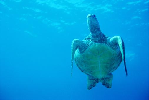 Green Turtle「Green Sea Turtle, Maui, Hawaii」:スマホ壁紙(16)
