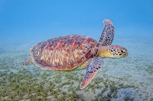 Green Turtle「Green Sea Turtle swimming in Red Sea / Marsa Alam」:スマホ壁紙(18)