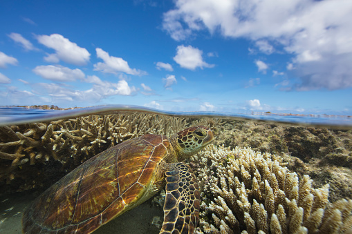 Green Turtle「Green Sea turtle swimming over a coral reef, Lady Elliot Island, Queensland, Australia」:スマホ壁紙(18)