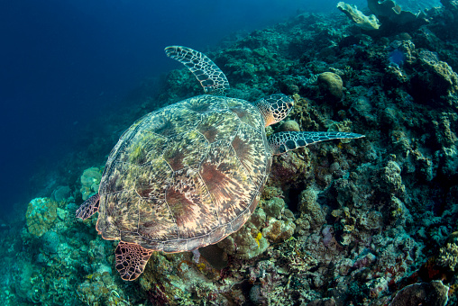 Green Turtle「Green sea Turtle swimming over the coral reef」:スマホ壁紙(6)