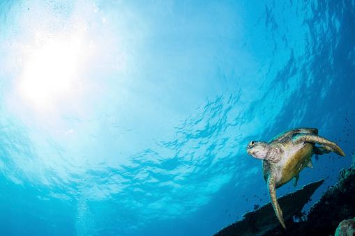 Green Turtle「Green sea turtle swimming over a coral garden in Sipadan, Malaysia.」:スマホ壁紙(1)