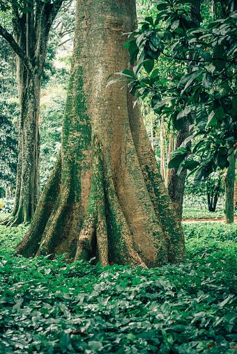 Amazon Rainforest「old Tree in Brazil」:スマホ壁紙(4)