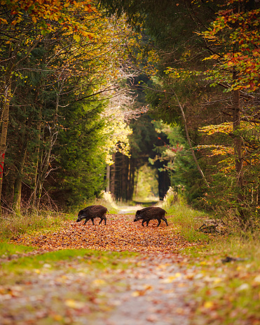 Boar「Group of wild boars in the middle of forest」:スマホ壁紙(10)