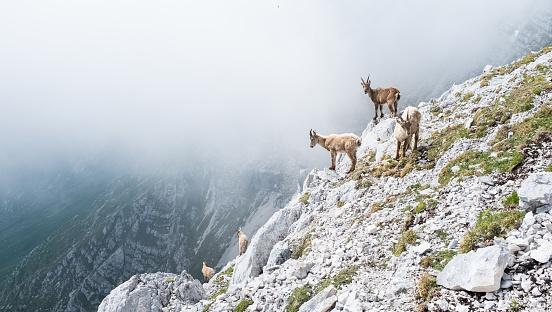 Goat「Group of wild chamois on a cliff in Italian dolomites」:スマホ壁紙(3)