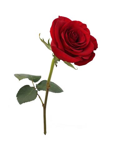 Love - Emotion「Fragrant red rose with leaf on white.」:スマホ壁紙(15)