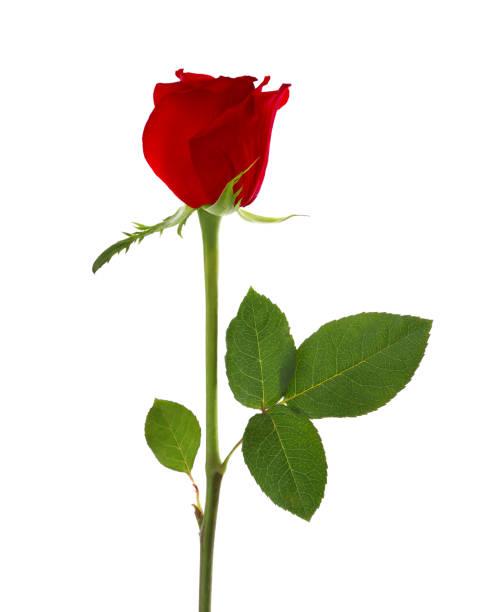Fragrant red rose bud with leaf on white.:スマホ壁紙(壁紙.com)
