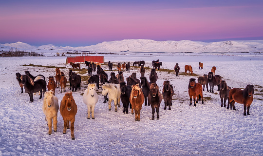 Stallion「Group of Icelandic Horses looking at the camera on a farm in the Horgardulur valley in Northern Iceland. This image is shot with a drone. 」:スマホ壁紙(9)