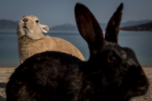 Rabbit - Animal「Bunnies Attract Tourists To A Japanese Islet Okunoshima」:写真・画像(4)[壁紙.com]