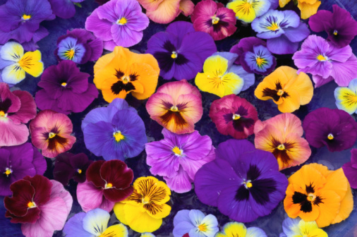 Pansy「Pansy flowers petals floating in bird bath, close-up, overhead view」:スマホ壁紙(5)