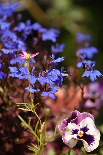 コスモス「Pansy Flowers Tango Series and Blue Lobelia」:スマホ壁紙(5)
