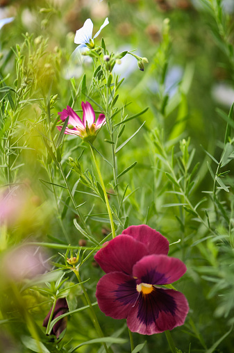 コスモス「Pansy Flower, Cosmos among Blossoming Flax Plants」:スマホ壁紙(4)