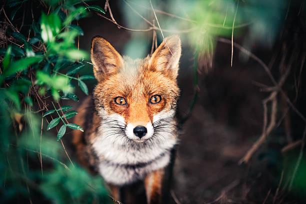 Fox In The Meadow:スマホ壁紙(壁紙.com)