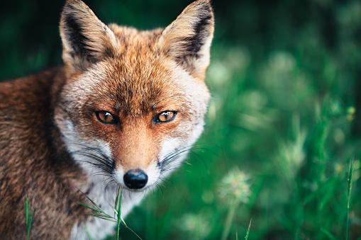 Fox「Fox In The Meadow」:スマホ壁紙(10)