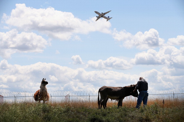 O'Hare Airport「Grazing Animals Brought In To Trim Field At O'Hare Airport」:写真・画像(11)[壁紙.com]