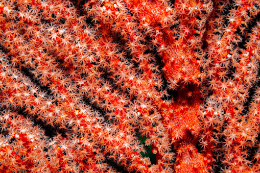 Soft Coral「Myriads of Extended Polyps, Gorgonian Sea Fan Beauty, Raja Ampat, Indonesia」:スマホ壁紙(9)