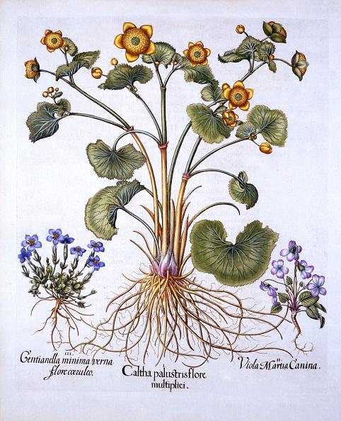 Violet - Flower「Marsh Marigold」:写真・画像(14)[壁紙.com]