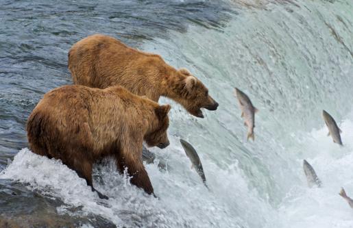 Katmai National Park「Two Brown Bears catching salmon at Brook Falls」:スマホ壁紙(7)