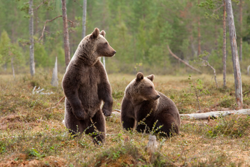 Boreal Forest「Two brown bears」:スマホ壁紙(16)