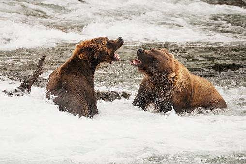 野生動物「Two brown bears (ursus arctos) roaring at each other beside a log in the shallow rapids of Brooks River, Alaska, United States of America」:スマホ壁紙(3)