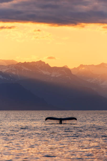 Fluke of a Humpback Whale (Megaptera novaeangliae) at sunset, Lynn Canal, with the Chilkat Mountains in the background, near Juneau:スマホ壁紙(壁紙.com)