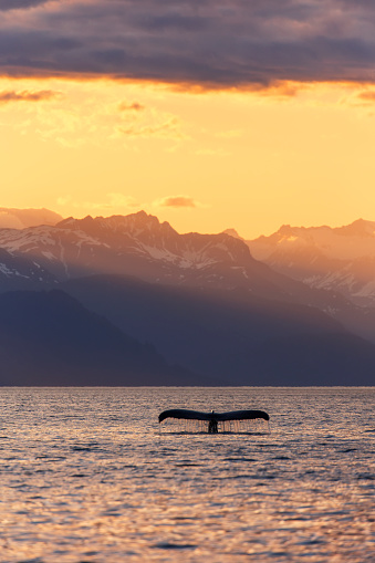 クジラ「Fluke of a Humpback Whale (Megaptera novaeangliae) at sunset, Lynn Canal, with the Chilkat Mountains in the background, near Juneau」:スマホ壁紙(15)