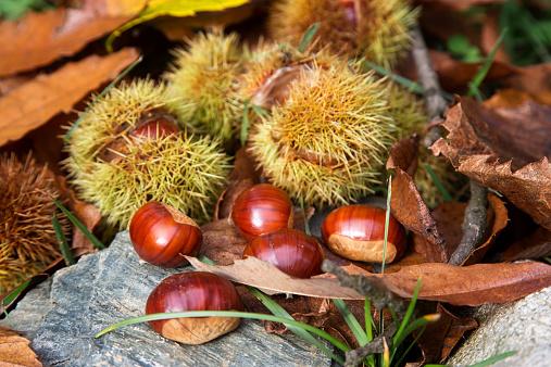 Chestnut Tree「Ripe chestnuts, Castanea sativa」:スマホ壁紙(2)