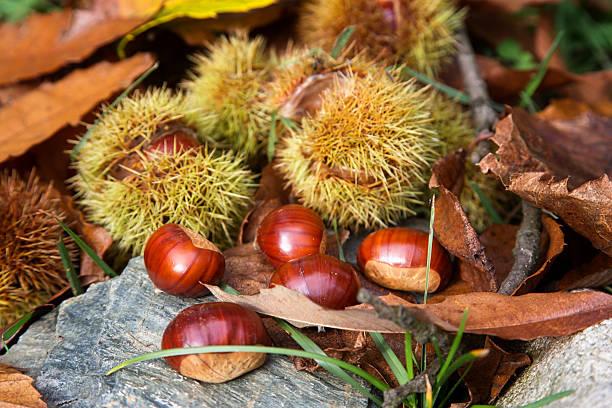 Ripe chestnuts, Castanea sativa:スマホ壁紙(壁紙.com)