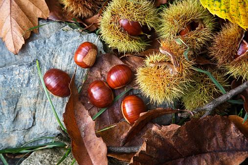 栗「Ripe chestnuts, Castanea sativa」:スマホ壁紙(15)
