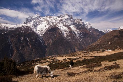 Khumbu「Yaks grazing at Syangboche near Namche Bazaar with Kongde Ri in the background, Everest Base Camp Trek, Nepal」:スマホ壁紙(13)