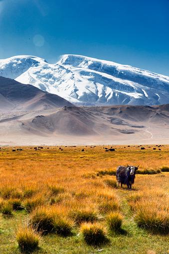 Yak「Yaks Grazing, Muztaga glacier, Karakoram」:スマホ壁紙(16)