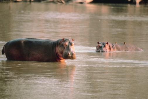 カバ「Hippos in river」:スマホ壁紙(2)