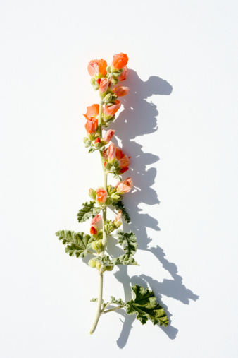 flower「Sunlit plant stem with flowers on white background」:スマホ壁紙(14)