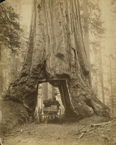 Sequoia Tree「Yosemite Sequoia」:写真・画像(2)[壁紙.com]