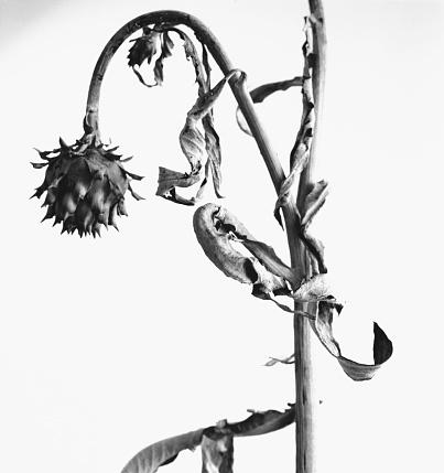 Drooping「Protea Flower II」:スマホ壁紙(13)