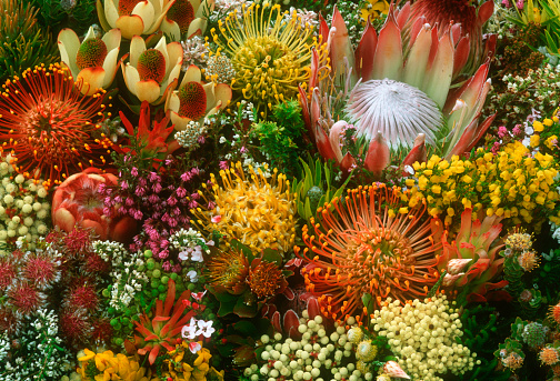 Pin Cushion「Protea Flowers from Fynbos Biome in South Africa」:スマホ壁紙(15)
