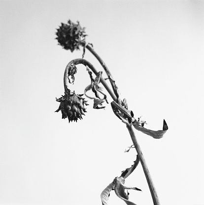 Drooping「Protea Flower I」:スマホ壁紙(10)