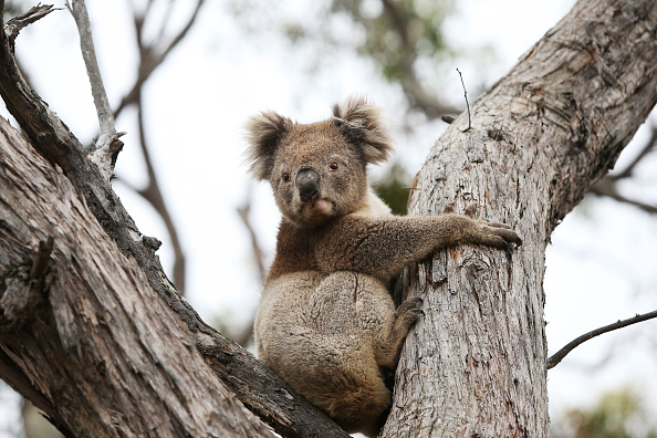 Animal「Kangaroo Island Begins Recovery Process Following Devastating Bushfire Season」:写真・画像(3)[壁紙.com]