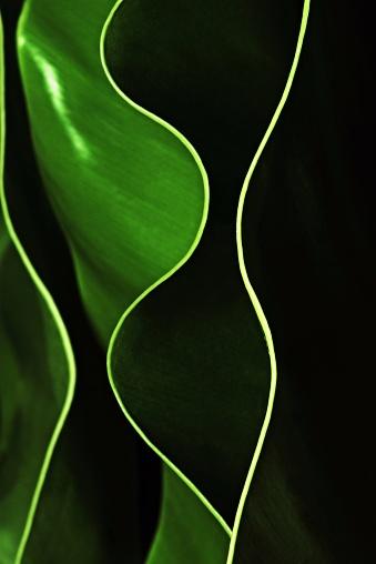 Extreme Close-Up「Curve of green leaf (Bird's nest fern)」:スマホ壁紙(3)