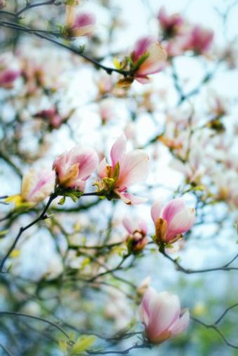 Keukenhof Gardens「Magnolia Spring Flowers」:スマホ壁紙(11)
