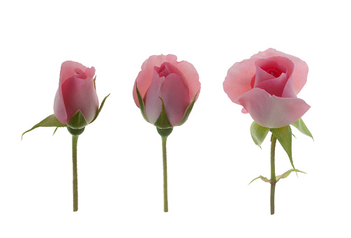 Sensory Perception「Fragrant pink rose bud opening in three stages on white.」:スマホ壁紙(8)