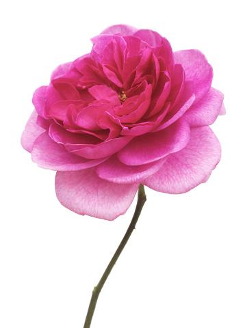 In The Center「Fragrant pink rose, Rosa 'Gertrude Jekyll', & stem on white」:スマホ壁紙(7)