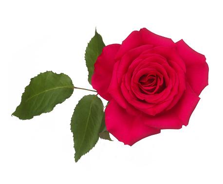 バラ「Fragrant pink rose with leaf on white.」:スマホ壁紙(19)