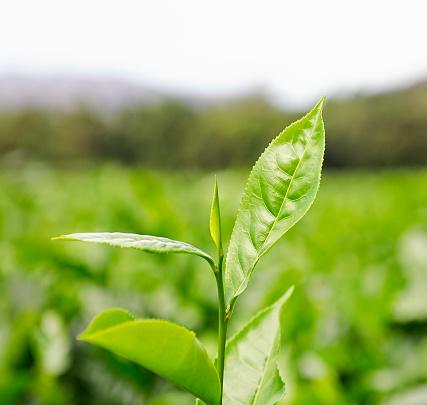 Life Cycle「Tea Cultivation」:スマホ壁紙(15)