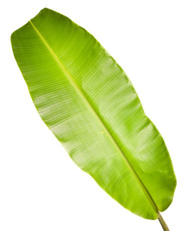 南国「バナナリーフ白で分離。」:スマホ壁紙(9)