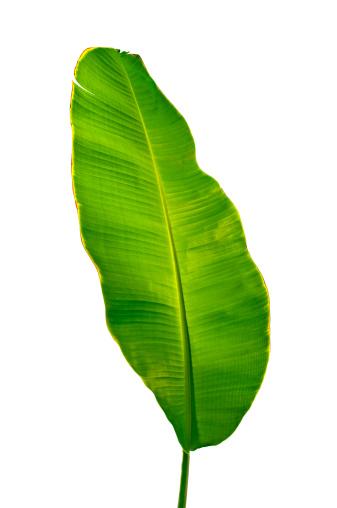 Saturated Color「Banana Leaf」:スマホ壁紙(13)