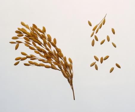 Rice - Food Staple「Sprig of dry rice」:スマホ壁紙(18)