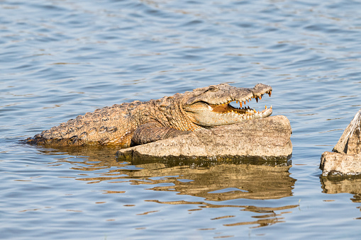 Rajasthan「Indian 'mugger' crocodile sunbathing in Lake Rajbagh」:スマホ壁紙(5)