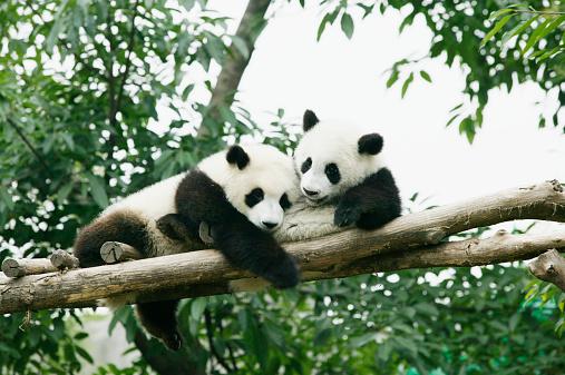 Panda「Two giant Pandas (Ailuropoda melanoleuca)in tree」:スマホ壁紙(4)
