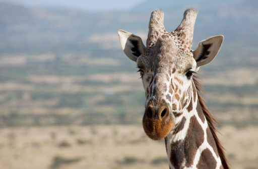 Giraffe「Reticulated giraffe in Lewa Downs, Kenya, Africa」:スマホ壁紙(4)